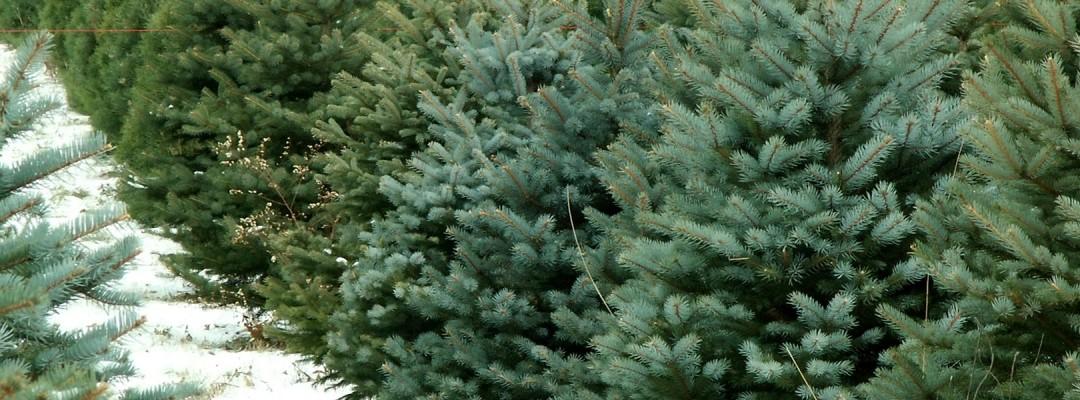 fraser fir trees