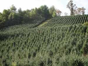 north carolina wholesale christmas tree farms