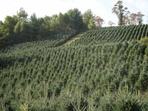 north carolina wholesale christmas tree farms